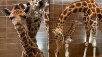 It's a boy! Oklahoma zoo welcomes endangered baby giraffe