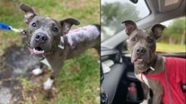 Puppy found burned, thrown from truck needs loving home
