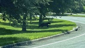 Bear spotted roaming on UCF campus