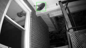 Raccoon gets stuck escaping attic through little hole before dropping to the ground