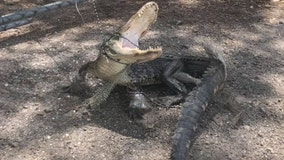 3-legged gator, bound with boxing tape, found outside Tampa sanctuary