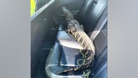 Only in Florida: Alligator hitches ride in back of patrol car