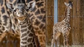 Disney's Animal Kingdom welcomes in healthy boy giraffe calf