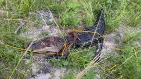 Teen ties rope around Brevard alligator, Florida wildlife officials say