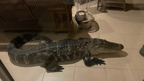 Florida couple wakes up to massive alligator on lanai