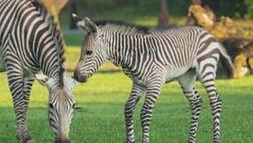 Disney's Animal Kingdom reveals name of new baby zebra