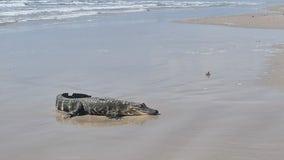 Louisiana gator comes ashore on Texas beach