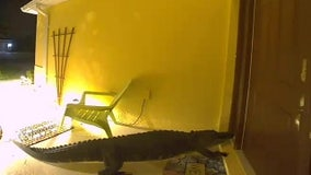 Massive alligator shows up at front door of Manatee County home