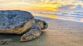 Police: Teens poured alcohol on nesting sea turtle on Alabama beach
