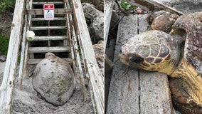 Pregnant sea turtle gets stuck on beach stairs while searching for place to nest on Manasota Key