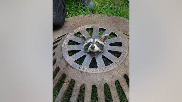 Baby raccoon freed after getting head stuck in sewer cover