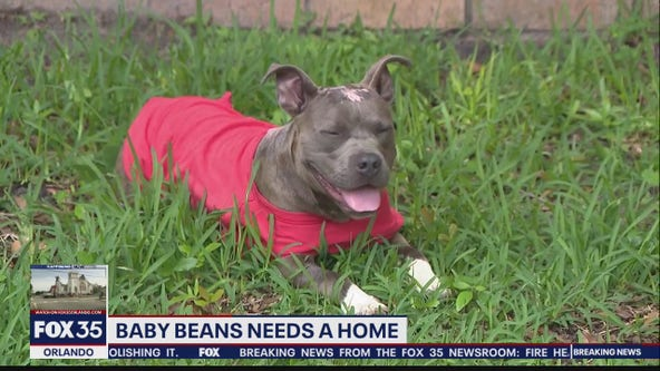 Dog that was burned, thrown from car needs a home