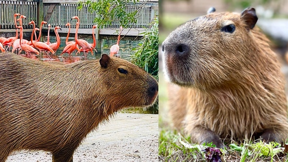 Capybara brothers receive new home at Gatorland Orlando