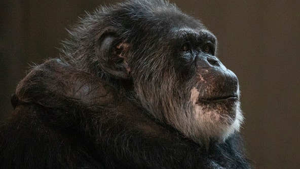 San Francisco Zoo announces death of Cobby, oldest male chimpanzee in U.S.