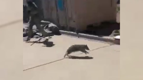 Raccoon chases soldiers out of armored vehicle in Colorado