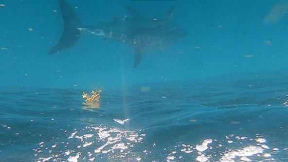 Family says they spotted Great White Shark off coast of Fort Pierce
