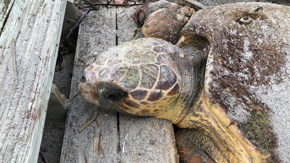 stuck-sea-turtle-manasota-2.jpg