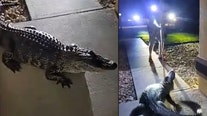 Alligator puts up fight, damages Florida home during late-night visit