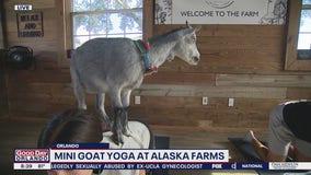 Mini goat yoga at Alaska Farms