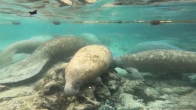 With months left in 2021, FWC says manatee deaths surpass annual record