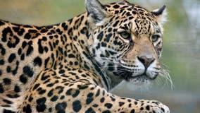 Florida man injured by jaguar after jumping barrier at zoo, officials say