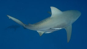 2 bull sharks swam up Mississippi River to St. Louis, study finds