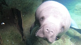 Manatees starve to death along Florida's coast: Here's why