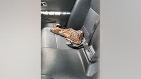 Baby deer rescued by Flagler County deputy