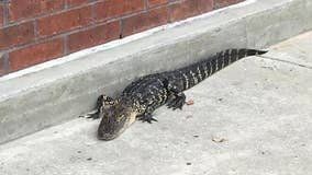 Alligator 'apprehended' by police for 'trespassing' at Florida mall