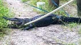 Florida good Samaritan uses dog leash to stop bleeding of biker attacked by alligator: report