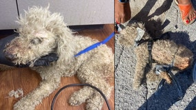 Poodle found in plastic bag, hogtied with mouth taped shut in Orlando