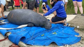 Rehabilitated manatees returned to Blue Spring State Park