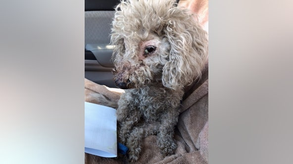 Dog found hogtied, mouth taped shut now having 'more good days than bad' as she heals