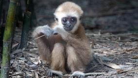 Florida zoo celebrates 1st birthday of baby gibbon with auction to name him