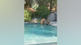 A family of bears spotted swimming in California couple's pool