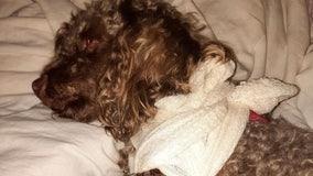 Dog named 'Muffy' survives alligator attack in Central Florida