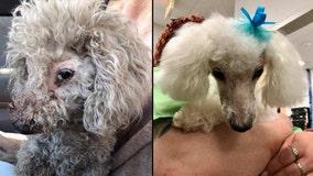Dog found hogtied behind Orlando business 'doing well,' gets makeover