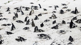 Swarm of bees kill more than 60 endangered penguins in South Africa