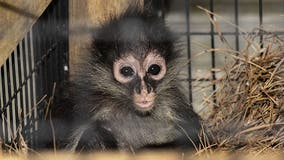 Spider monkey named 'J' smuggled into U.S. now living at Brevard Zoo