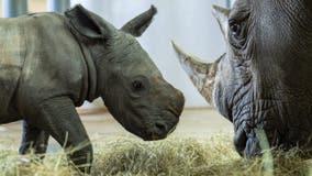 Adorable baby white rhino born at Disney's Animal Kingdom