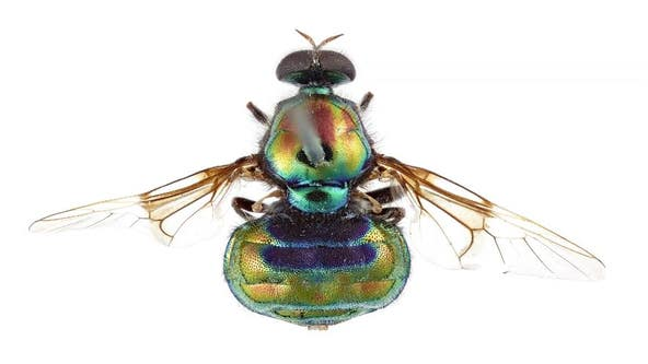 Australian researchers name vibrant rainbow insect in honor of RuPaul
