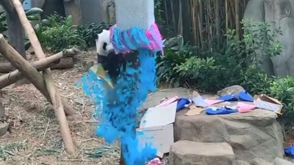 Singapore zoo: Panda father celebrates gender reveal party