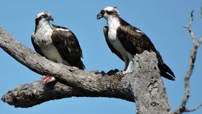 FWC resurrects support for osprey as Florida's state bird