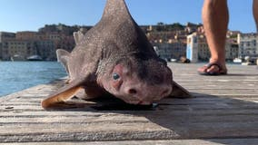 Italian naval officers puzzled after pulling 'pig-faced' shark from water