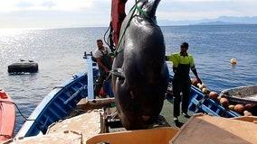 Massive sunfish rescued from fishnet off Spanish coast