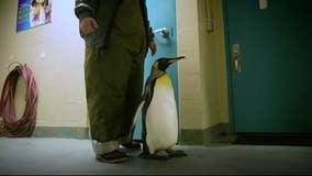 Penguin under SeaWorld Orlando's care beats cancer twice