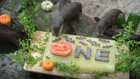 Discovery Cove otters 'Emmie' and 'Binx' celebrate Halloween-themed 1st birthday