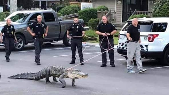 Viral photo shows police walking 9-foot alligator on leash: Here's why