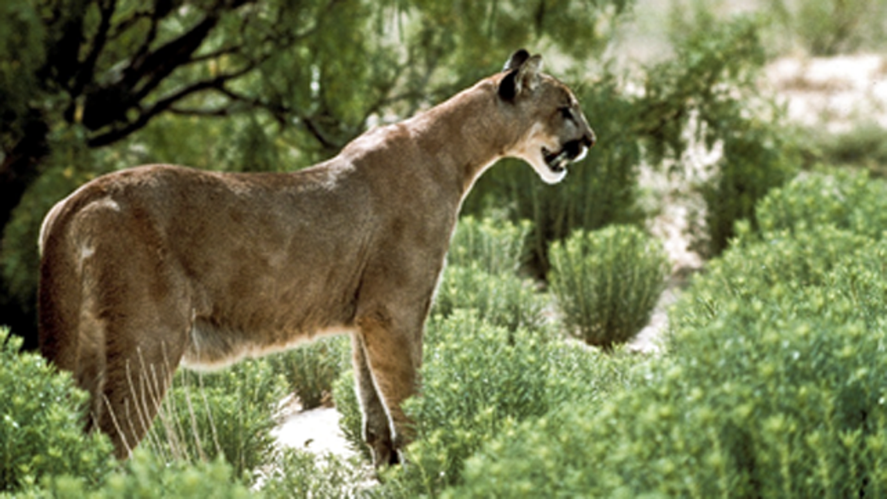 Man dies after being attacked by mountain lion...