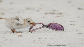 Photos of baby skimmers eating trash shine light on beach pollution problem